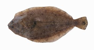 3D panamic flounder model
