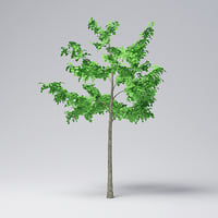 mountain maple - 300cm model