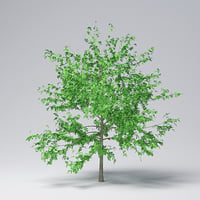 mountain maple - 550cm 3D model