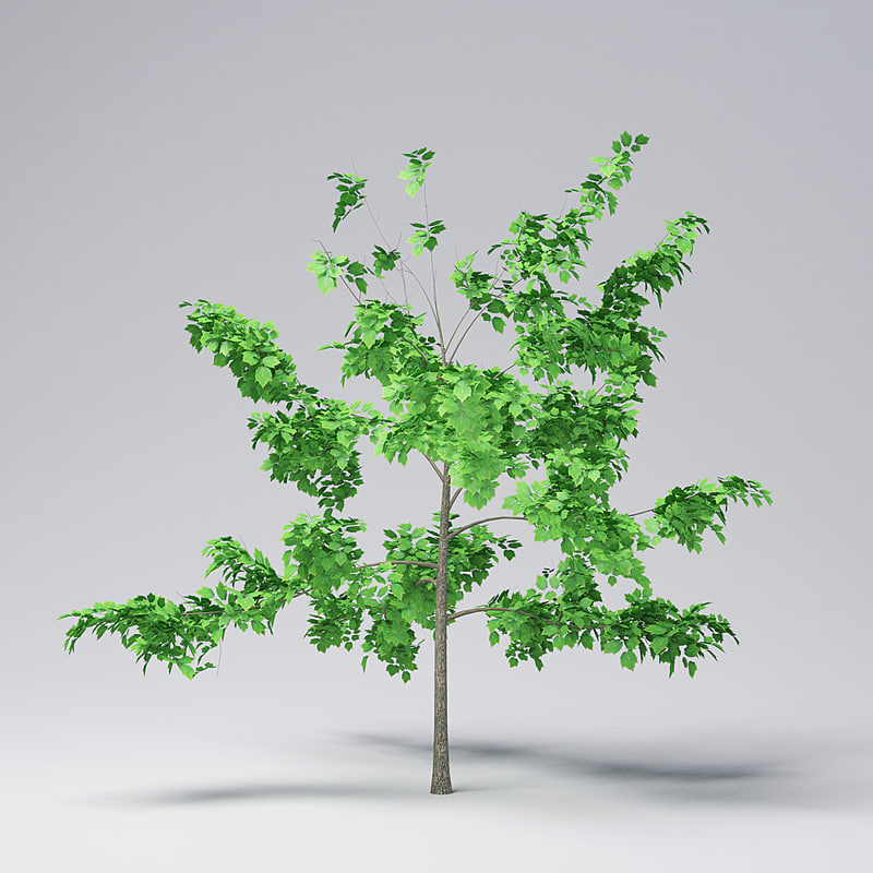 mountain maple - 240cm 3D model