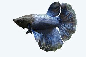 3D betta fish