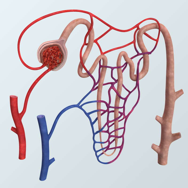 3D realistic nephron anatomy human