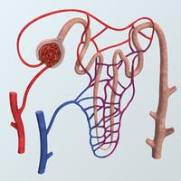 Realistic Nephron Anatomy