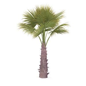 3D windmill palm tree model