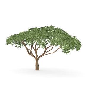 thorn tree 3D model