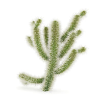 cholla cactus 3D model