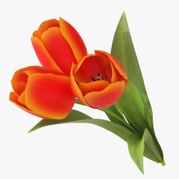 tulip 3 flower 3D model