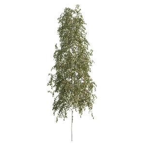 silver birch tree 3D