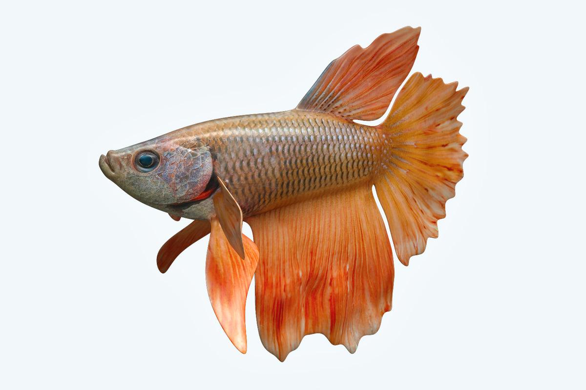 betta fish 3D