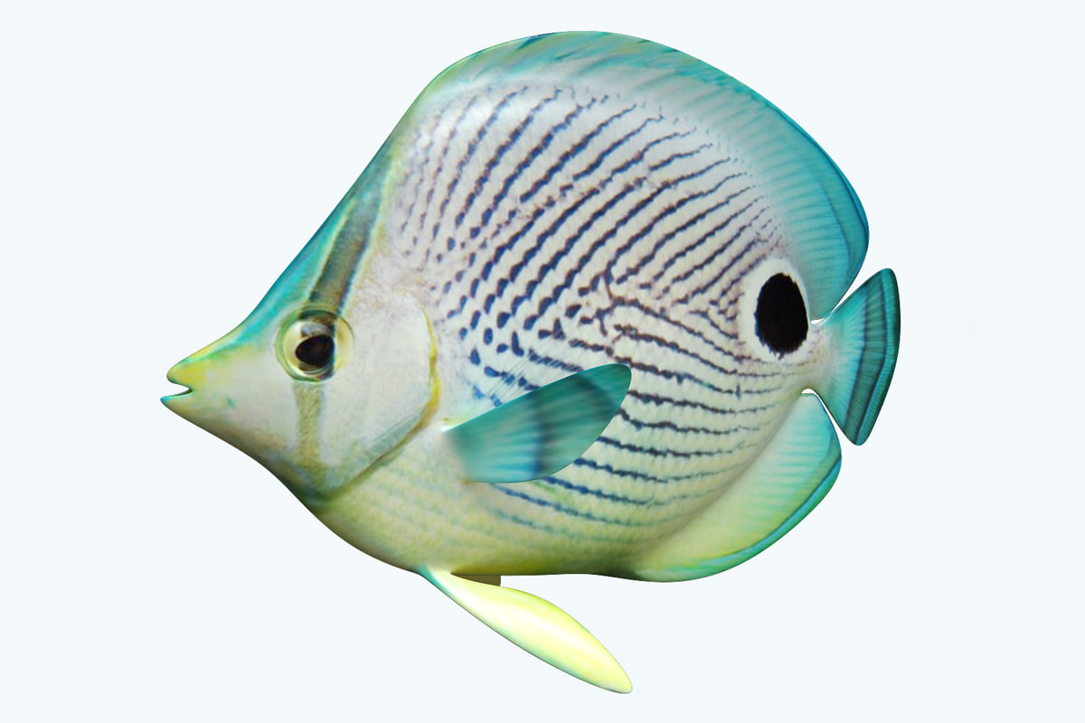 3D foureye butterfly fish model