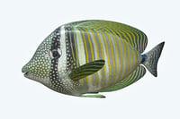 zebrasoma fish 3D model