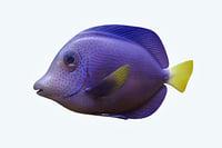 3D zebrasoma fish model
