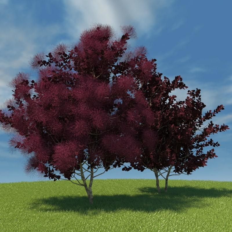 european smoketree model