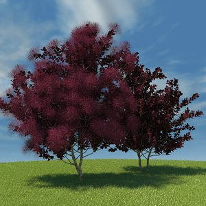 european smoketree model