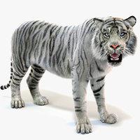 3D white sumatran tiger fur