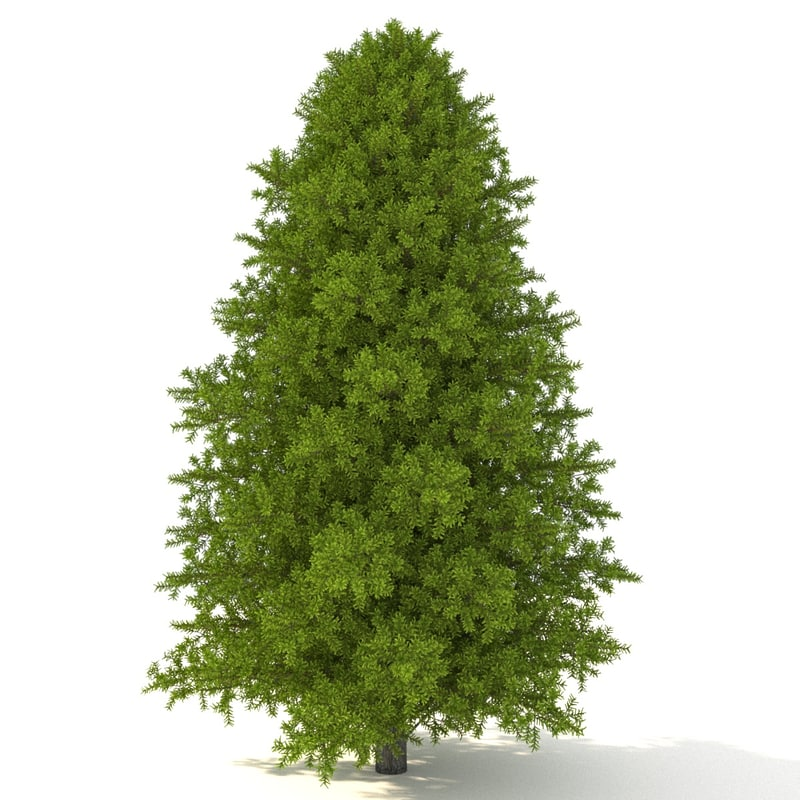 canadian fir-tree firs trees 3D model