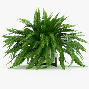 3D sword fern nephrolepis model