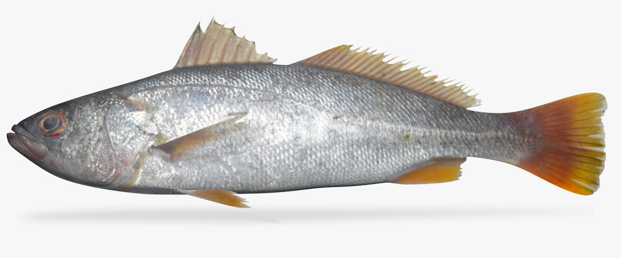 orangemouth corvina model