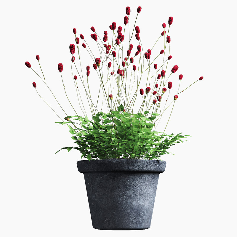 plant sanguisorba 3D