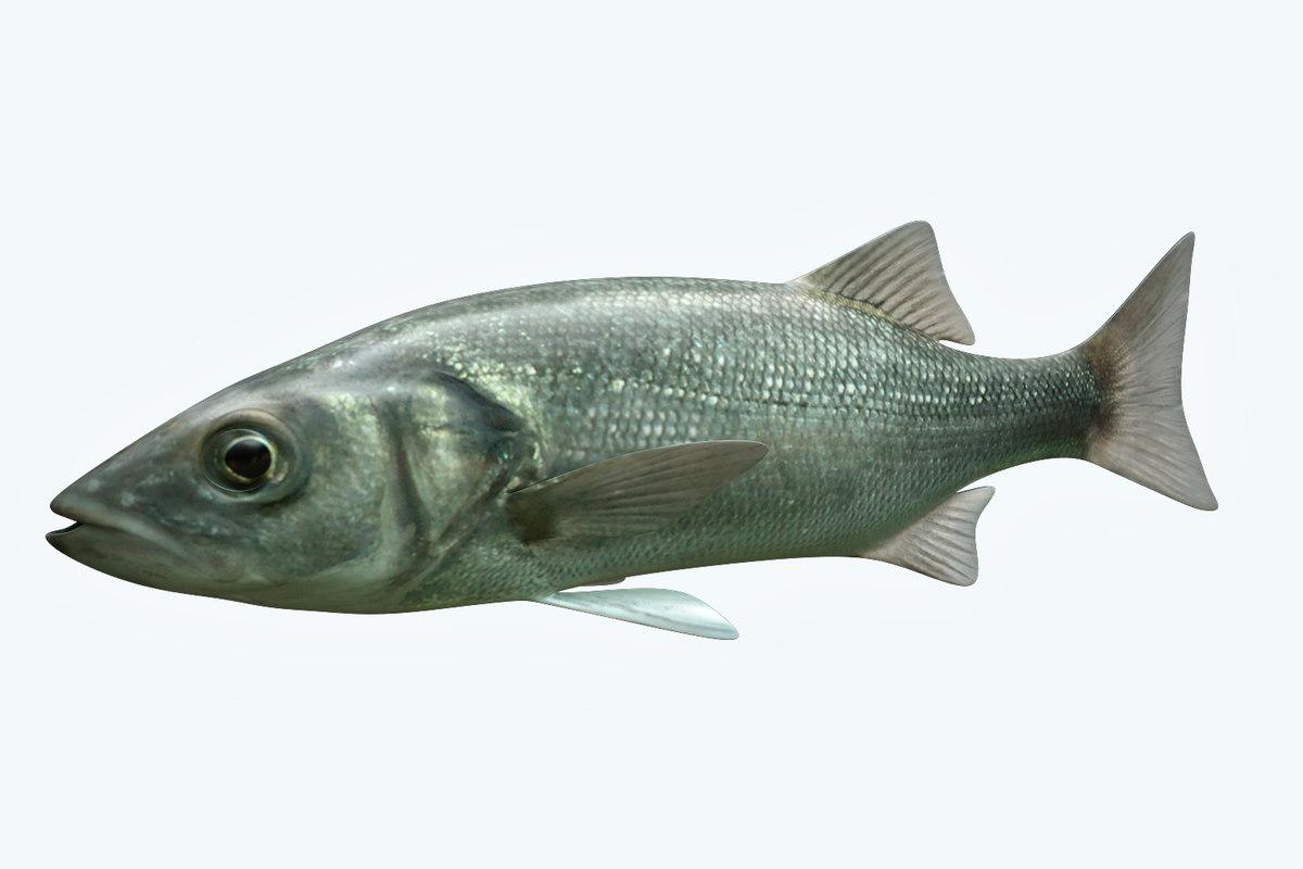 dicentrachus fish model