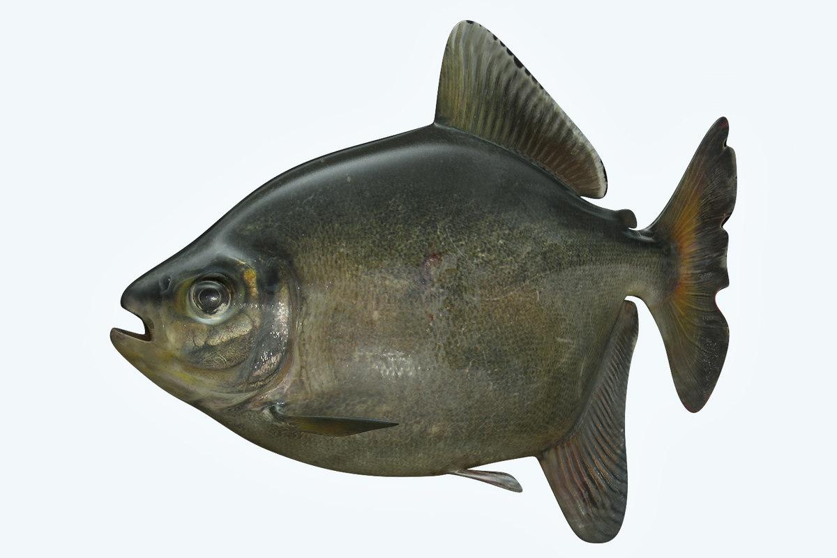 3D bawal fish