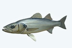 seabass fish 3D model