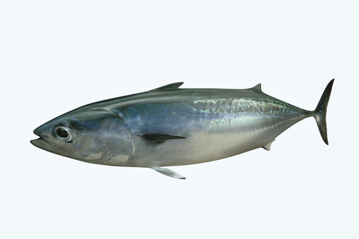 bonite fish 3D model