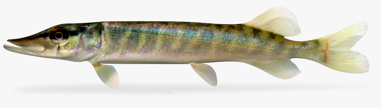 northern pike 3D model