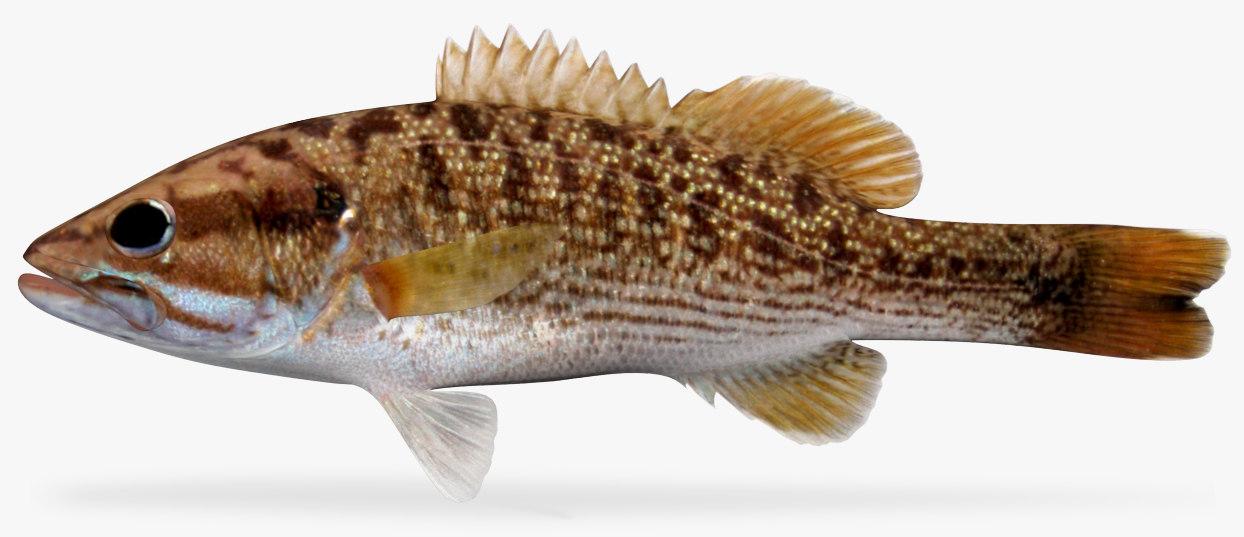 3D redeye bass