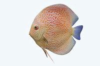 3D discus fish 2