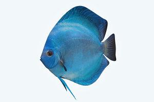 discus fish 3 3D model