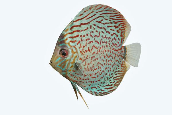 discus fish 4 3D