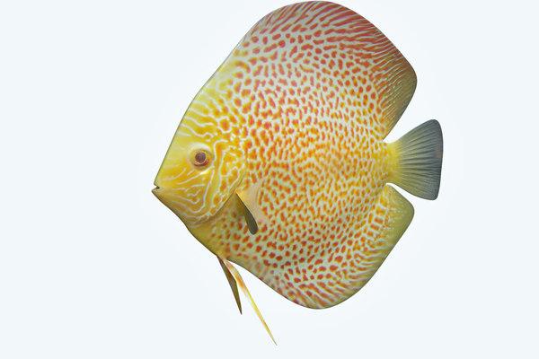 discus fish 5 3D