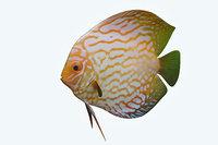 discus fish 7 model