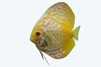 discus fish 8 3D