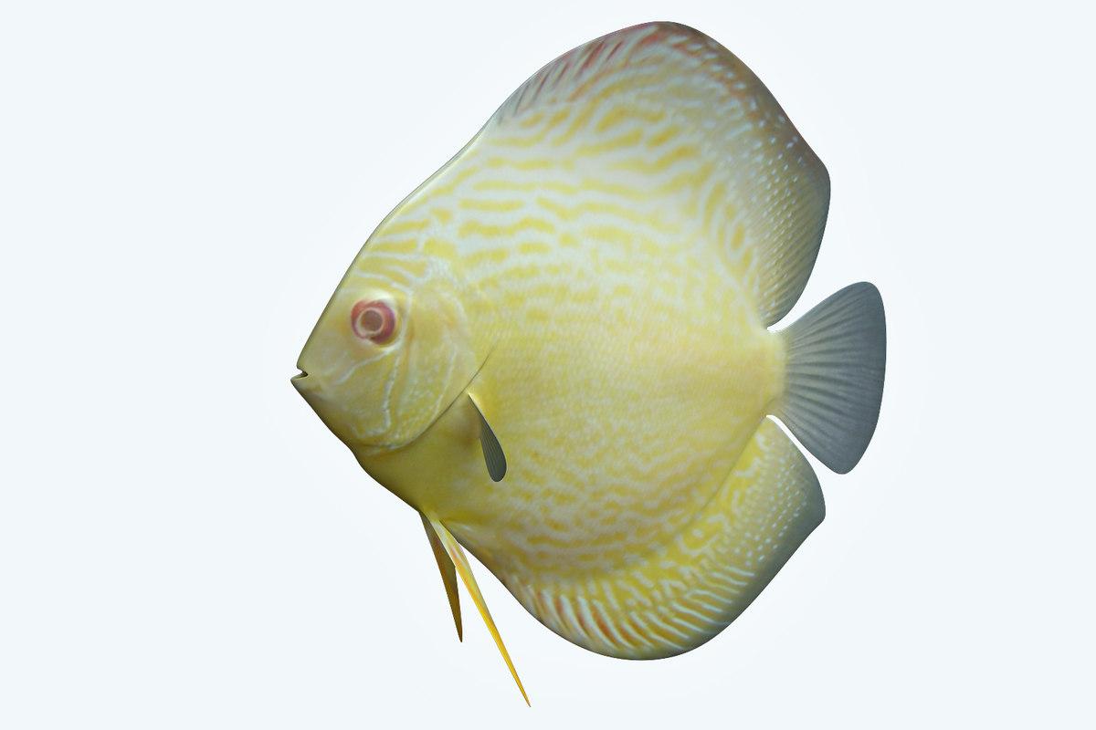 3D discus fish 9