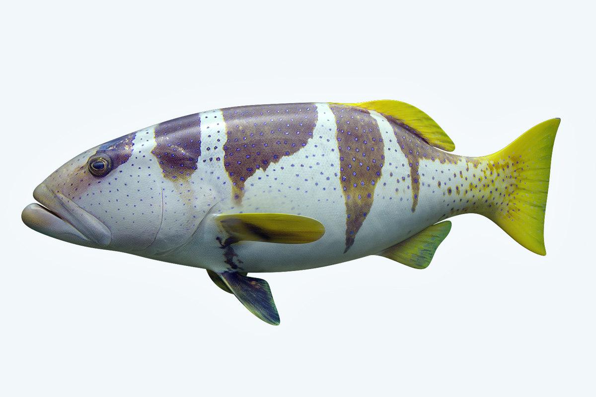 plectropomus laevis 3D model