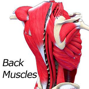 3D muscles model