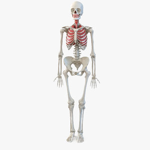 human female skeleton respiratory model