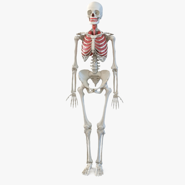 human female skeleton respiratory model