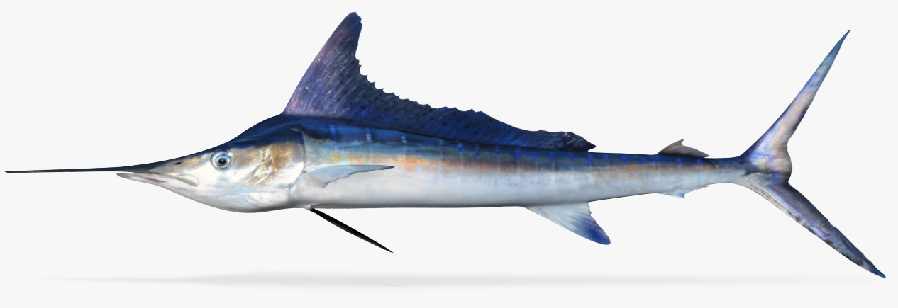 3D blue marlin model