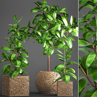 ficus robusta tree 3D model