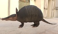 Low_poly armadillo