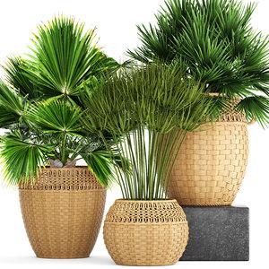 3D model palms cyperus alternifolius