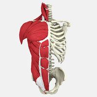 3D human male torso model
