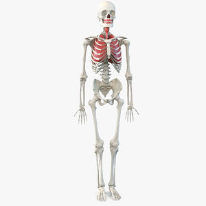 human male skeleton respiratory 3D