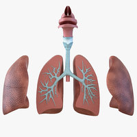 3D human respiratory anatomical modeled model