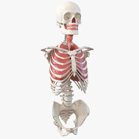 Male Torso Skeleton with Respiratory System