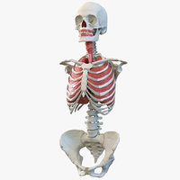 Human Female Torso Skeleton with Respiratory System 3D Model
