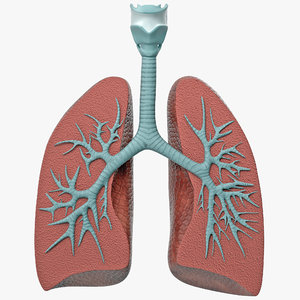 3D lung anatomy dissection modeled model